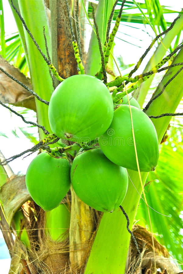 Download Green coconuts stock photo. Image of outdoors, unripe - 18381136