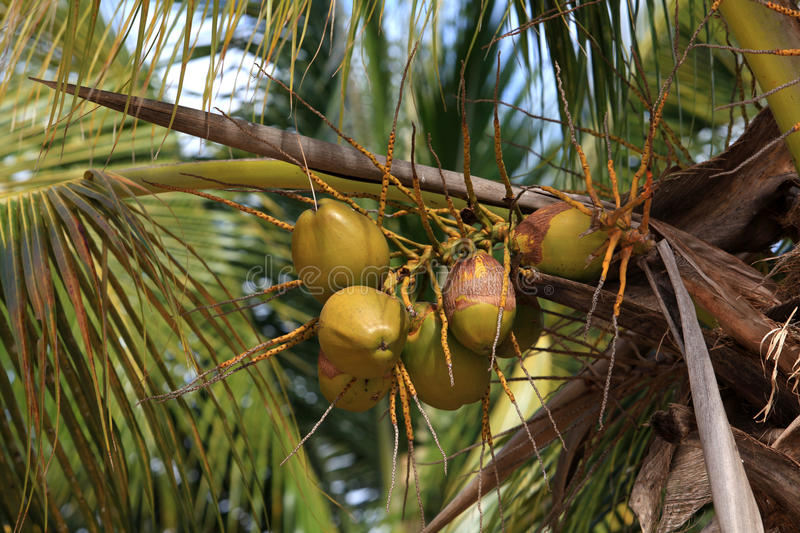 Download Green coconuts stock image. Image of hard, leaves, fruit - 26837021