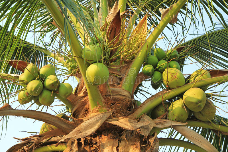 Download Green coconuts stock photo. Image of fruit, closeup, image - 29602460