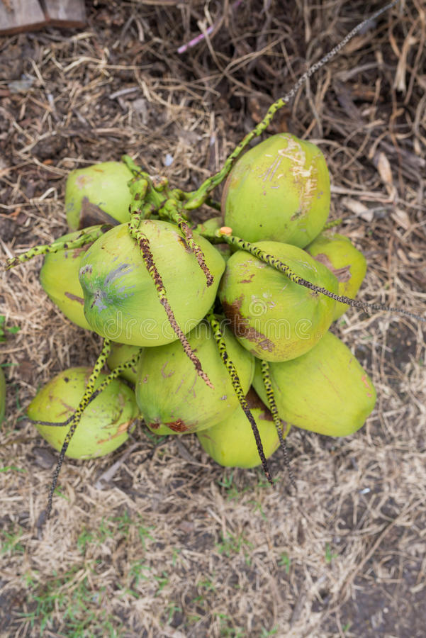 Download Green coconuts stock photo. Image of nature, organic - 34631810