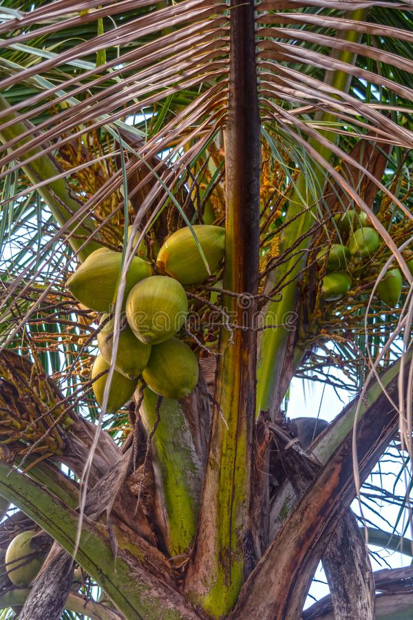 Green coconuts hanging on the coconut tree. stock photo