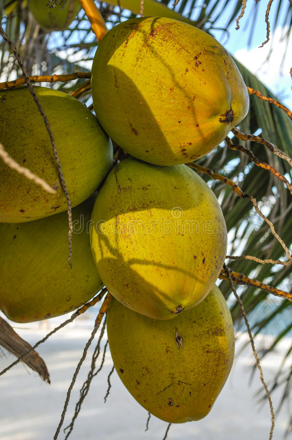 Download Green Coconuts Stock Photography - Image: 34411092