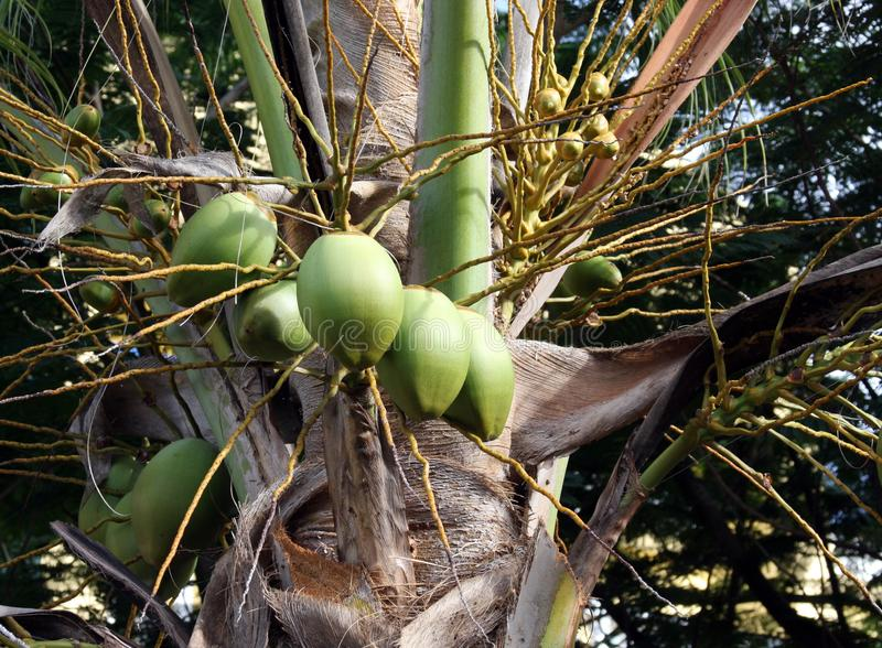 Green Coconuts on a Palm tree royalty free stock photo