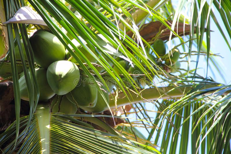 Green coconuts on palm tree stock images