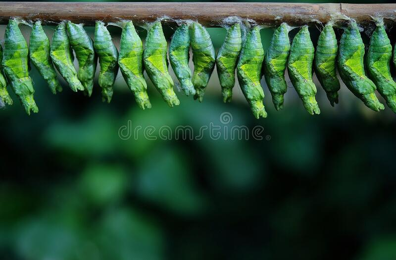 Green Cocoons On Tree Branch Free Public Domain Cc0 Image