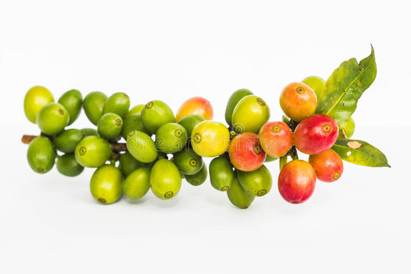 Green coffee royalty free stock photography