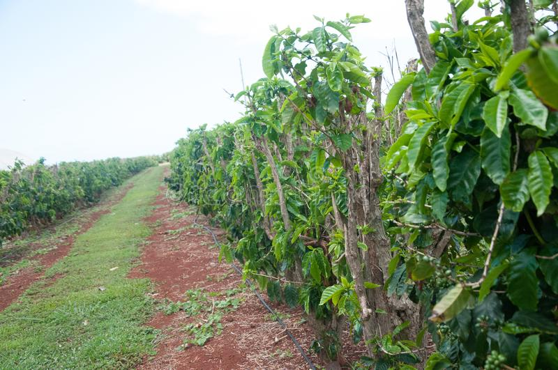 Green Coffee beans plants are growing in rows at a farm in Kauai, Hawaii. royalty free stock photo