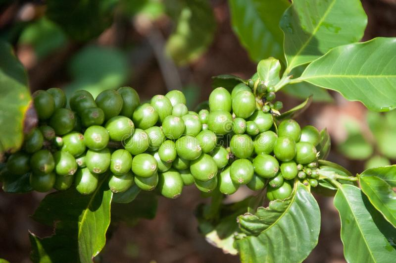 Green Coffee beans are growing at a farm in Kauai, Hawaii. royalty free stock photos