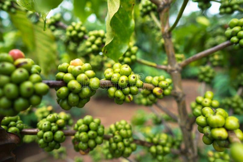 22 977 Green Coffee Beans Photos Free Royalty Free Stock