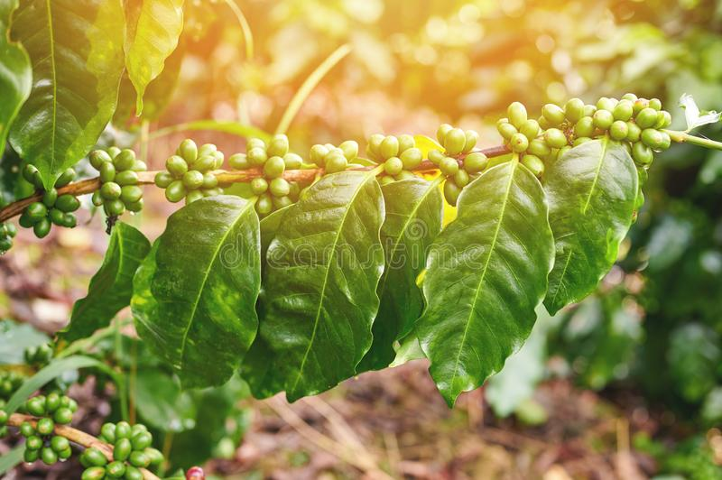 Green coffee branch on sunny day. Macro close up view royalty free stock photo