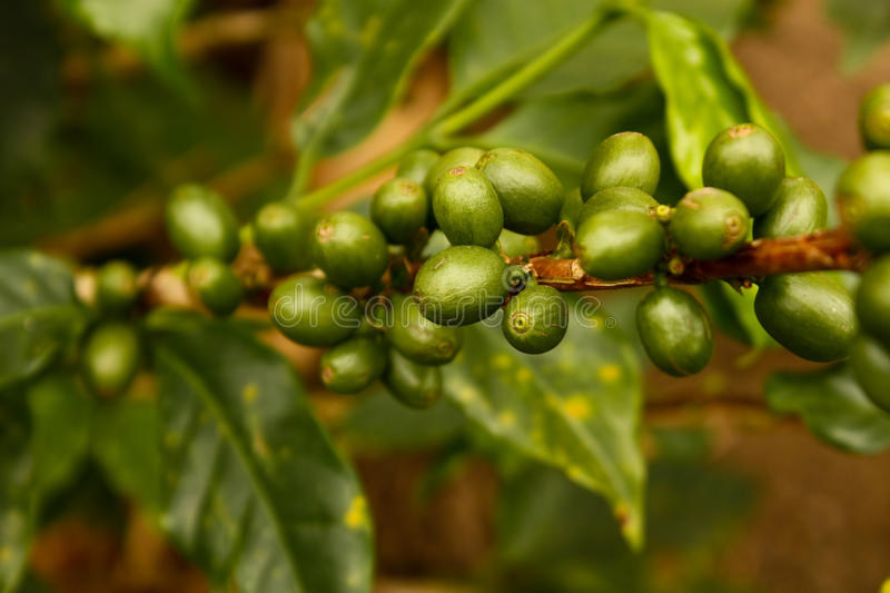 Green coffee. Colombia royalty free stock image