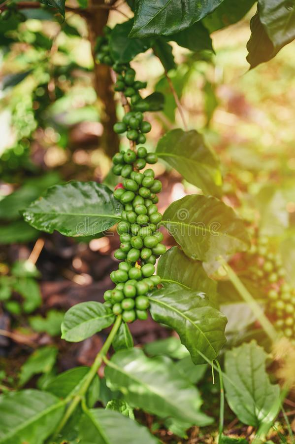 Green coffee tree branch. On blurred sunny background royalty free stock photos
