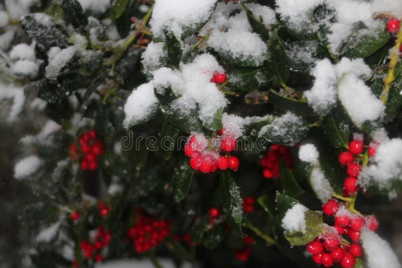 Green colored holly with red berries and snow on it. On a winter day royalty free stock photos