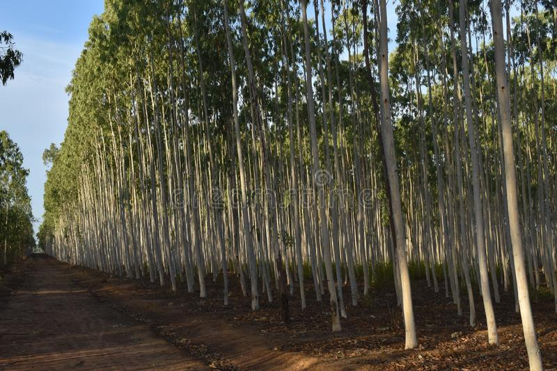 GREEN COLORED LEAVES OF EUCALYPTUS stock photos