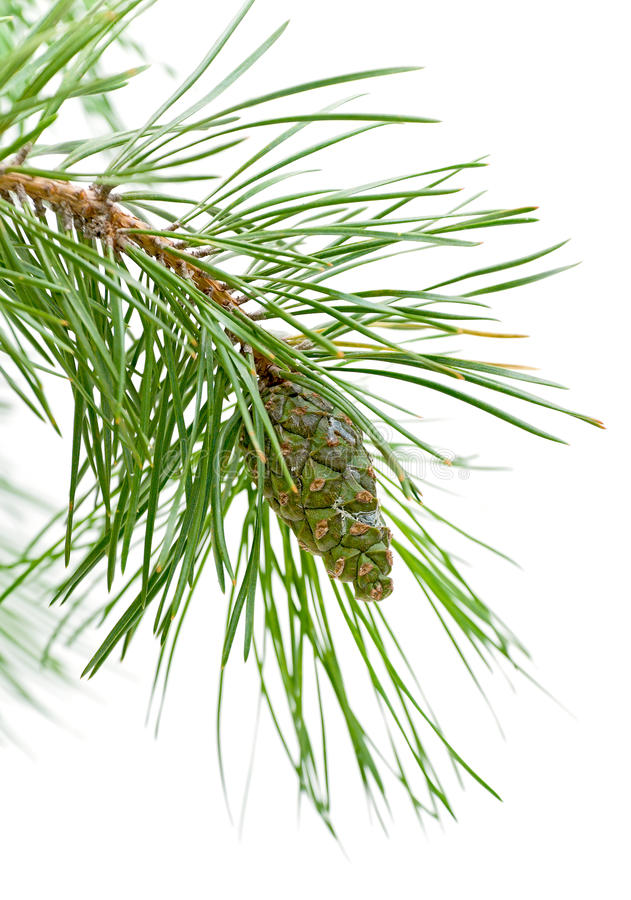 Download Green Cone On A Pine Branch Stock Photography - Image: 21300992