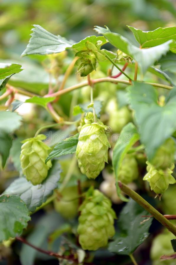 Green cones hops hanging on stems royalty free stock images
