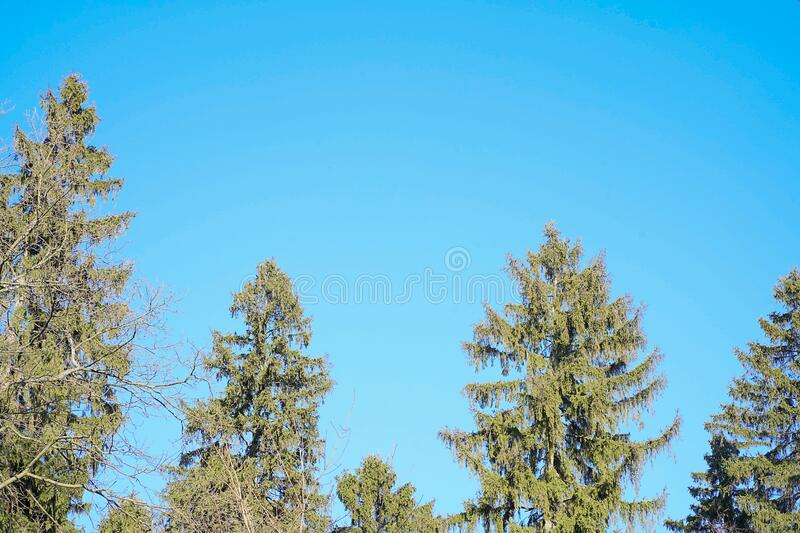 The spring season scene. Green conifer with blue skies copy space.The spring season scene. Thinned mixed forest panoramic view from bottom to up royalty free stock photography