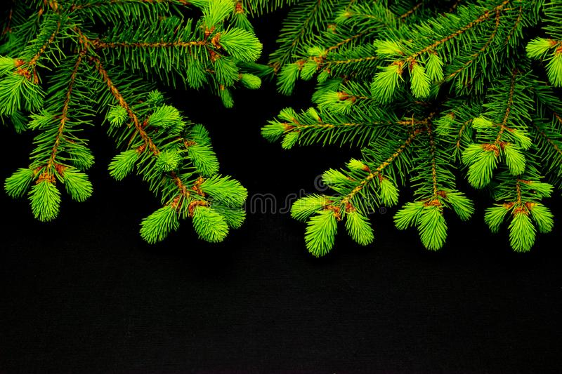 Green conifer branches on a dark background christmas background royalty free stock image