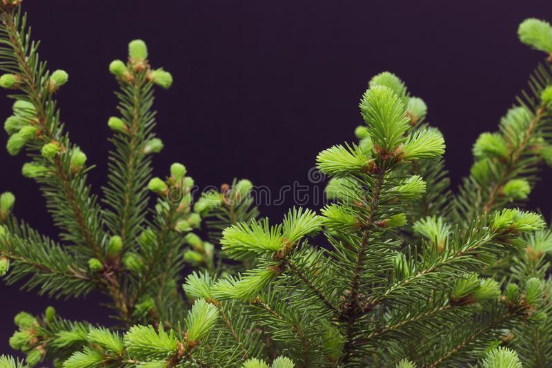 Green conifer branches on a dark background christmas background stock photos