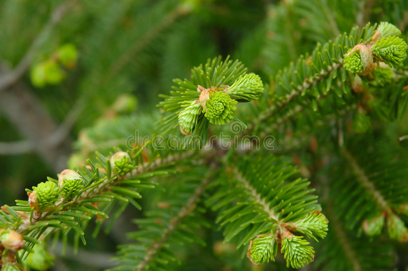 Download Green conifer branchlets. stock photo. Image of natural - 6318658