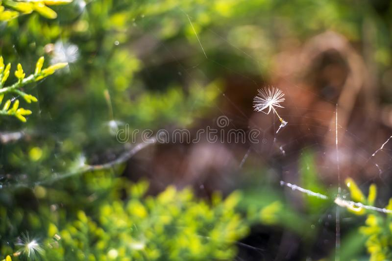 Green conifer hedge branches in a spider web. Parachute seed caught in a spider web on blurred green conifer hedge background in the village of Krum, Southern royalty free stock images