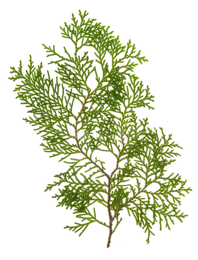 Free Green Conifer Leaves Royalty Free Stock Photo - 2757135