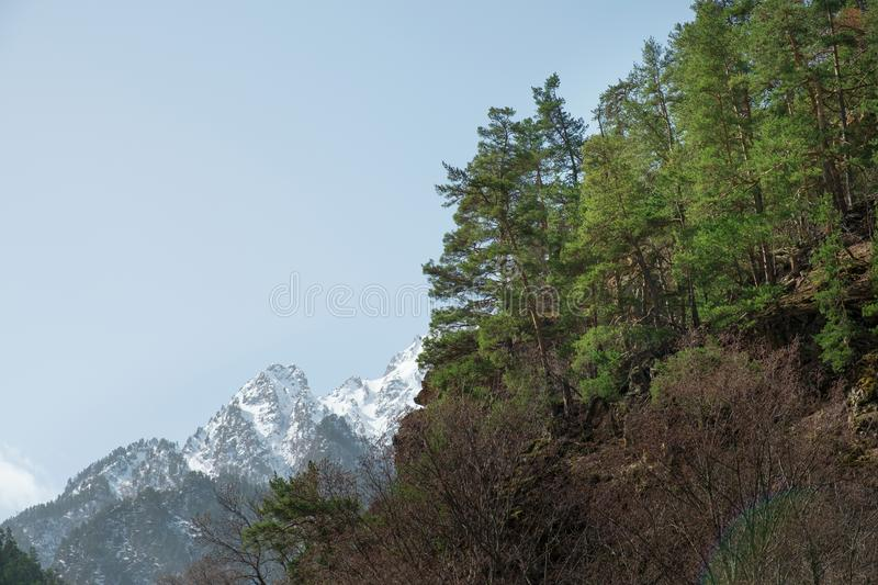 Green coniferous forest on a mountainside against a background of snow-capped mountain peaks stock images
