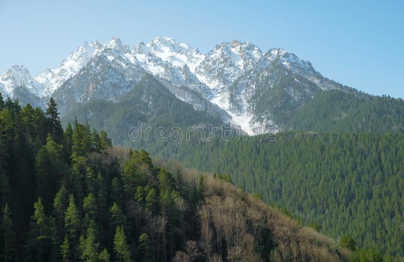 Green coniferous forest on a mountainside against a background of snow-capped mountain peaks stock image