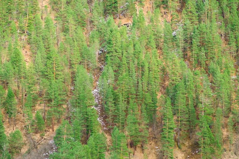 Green coniferous forest on the mountainside with the remains of snow stock photos