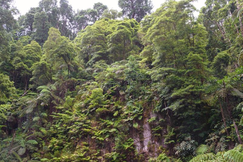 Green coniferous forest after rain. San Miguel Island, Azores, Portugal. Green coniferous forest after rain. San Miguel Island, Azores, Portuga.l royalty free stock images