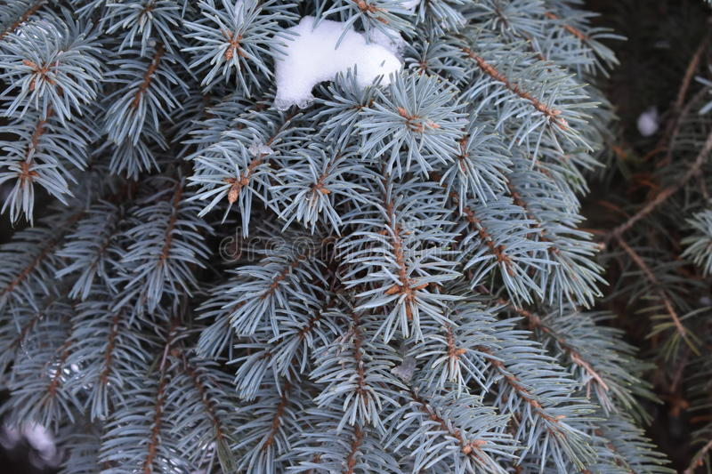 Green are coniferous tree. Soft needles solid thicket fir cones stock photography