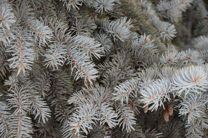 Green are coniferous tree. Soft needles solid thicket fir cones royalty free stock images