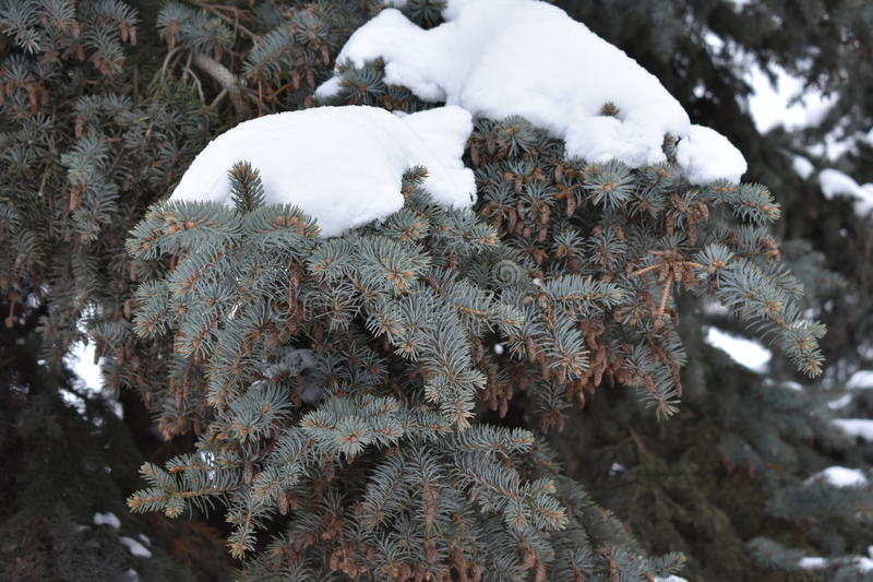 Green are coniferous tree. Soft needles solid thicket fir cones stock image