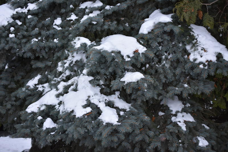Green are coniferous tree. Soft needles solid thicket fir cones royalty free stock photo