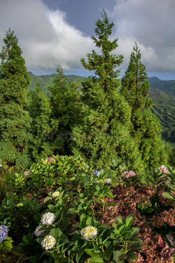Green conifers and wild flowers at Vista do Rei viewpoint on a cloudy day, Sao Miguel Island, Azores, Portugal.  stock images