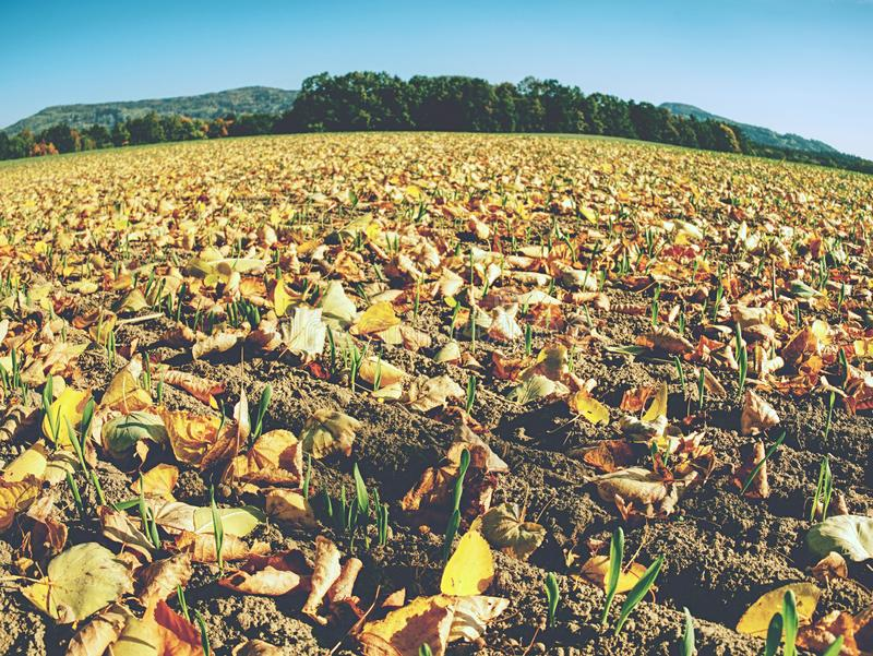 Green corn field within fall months. Agriculture background. Rows of green corn seedlings at fall season stock images