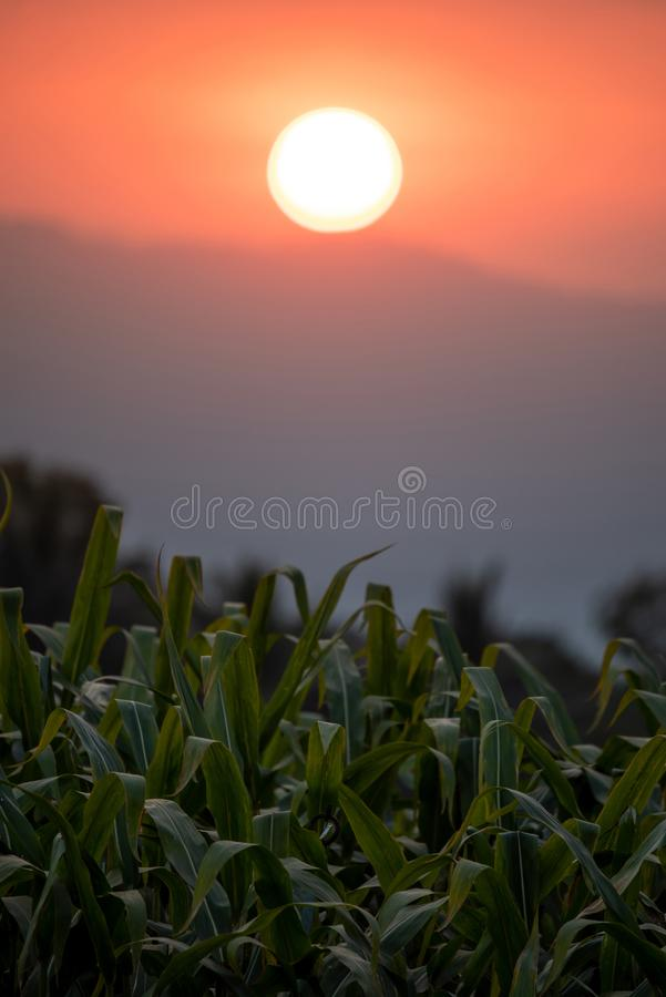 Green corn field at sunset royalty free stock photography