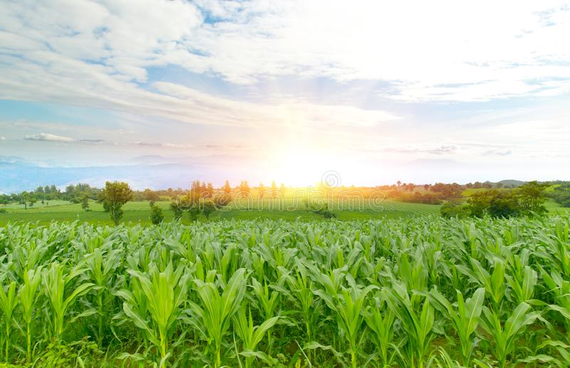 Green corn fields on wide-angle mountains Morning sunrise royalty free stock photos