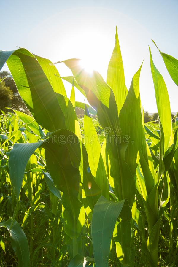 Green corn leaves. Sunset. Green corn leaves with backlight sun. Close up stock photo