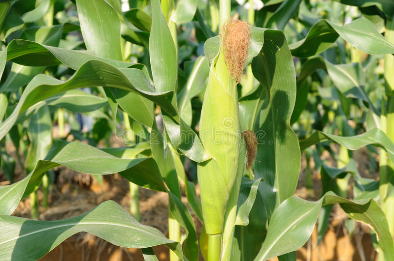 Green corn plant stock images