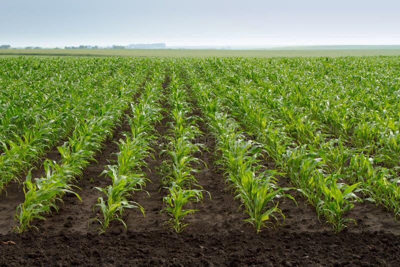 Green corn plants royalty free stock photography