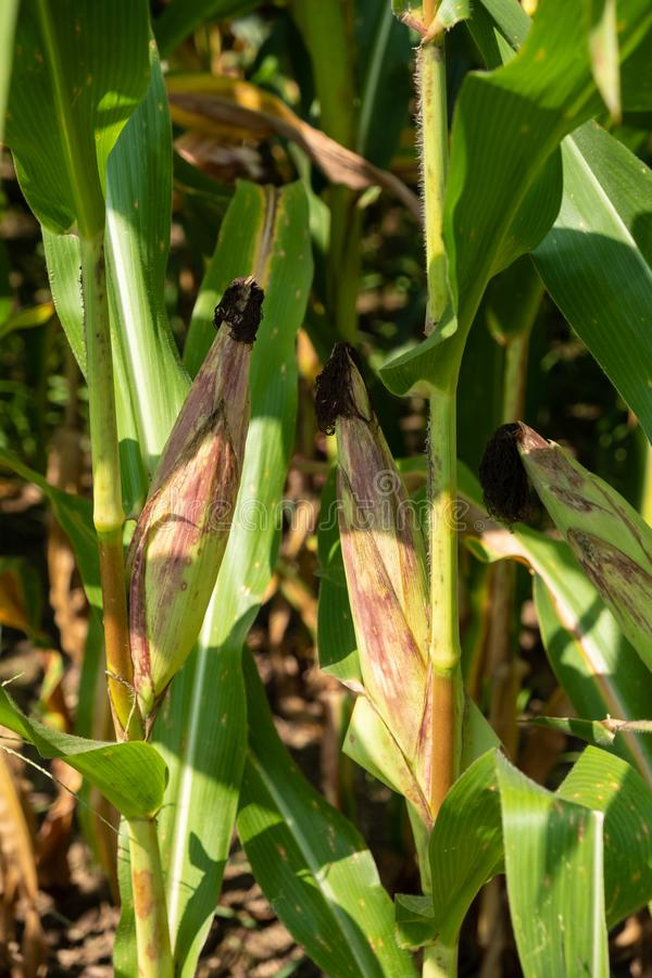 Green corn plants on farmland - Close up view royalty free stock photography