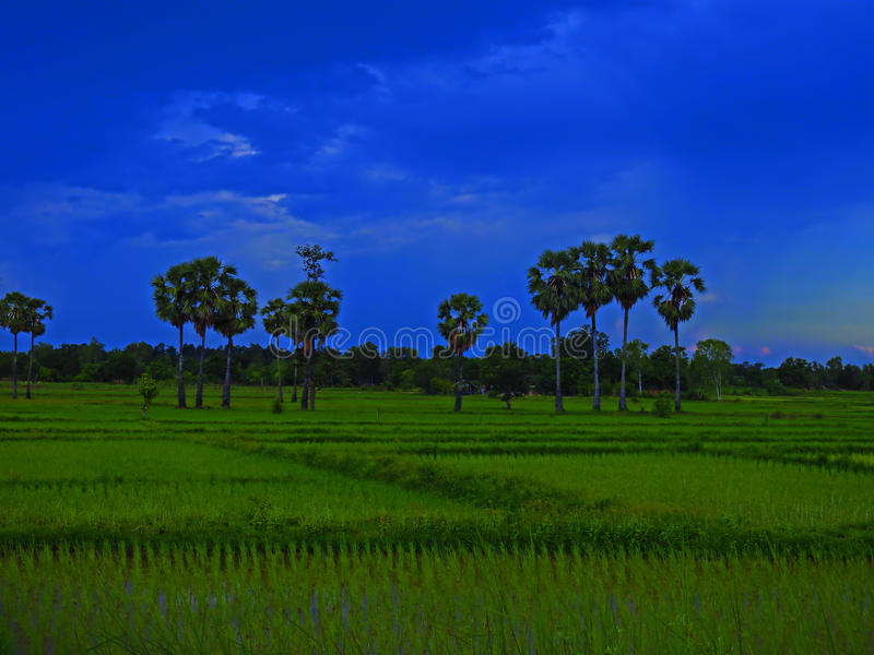 Green cornfield evening. stock photo