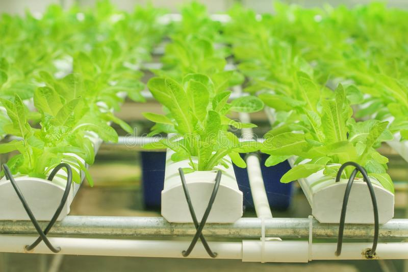 Cos lettuce, salad organic vegetable in hydroponics farm royalty free stock image