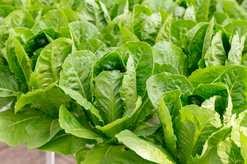 Green cos lettuce salad plant in the hydroponic system stock images