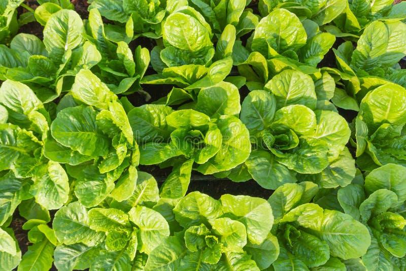 Green cos salad royalty free stock photos