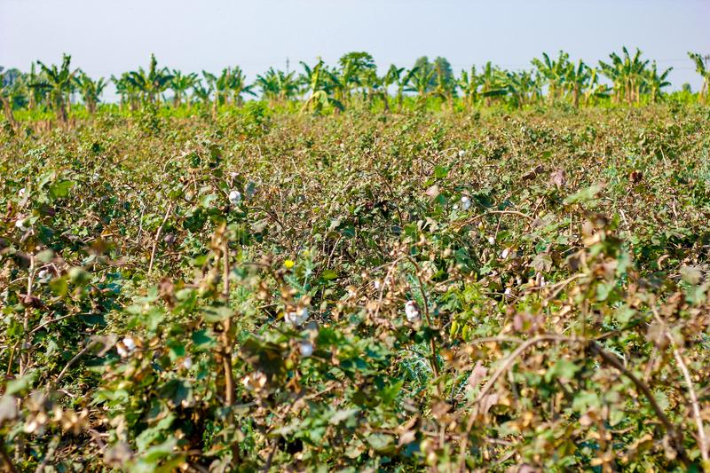 Green cotton field, india stock image