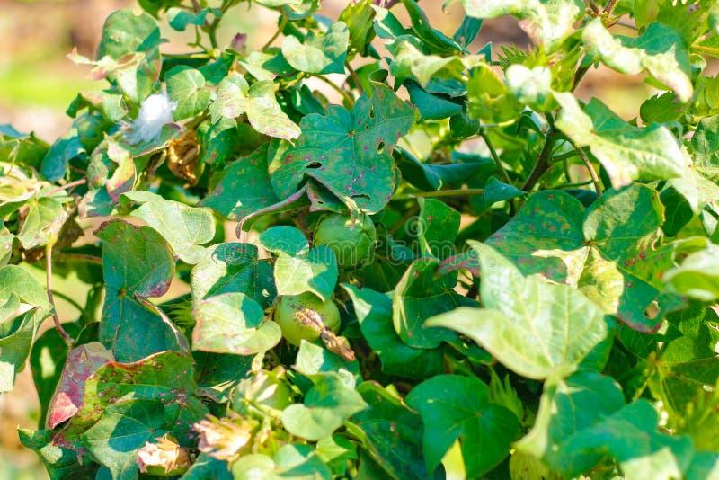 Green cotton field, india stock photo