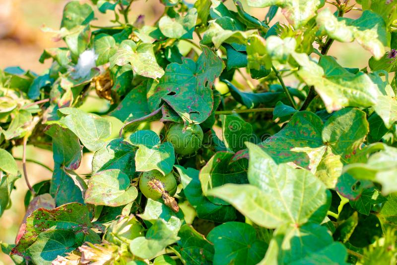 Green cotton field, india royalty free stock photography