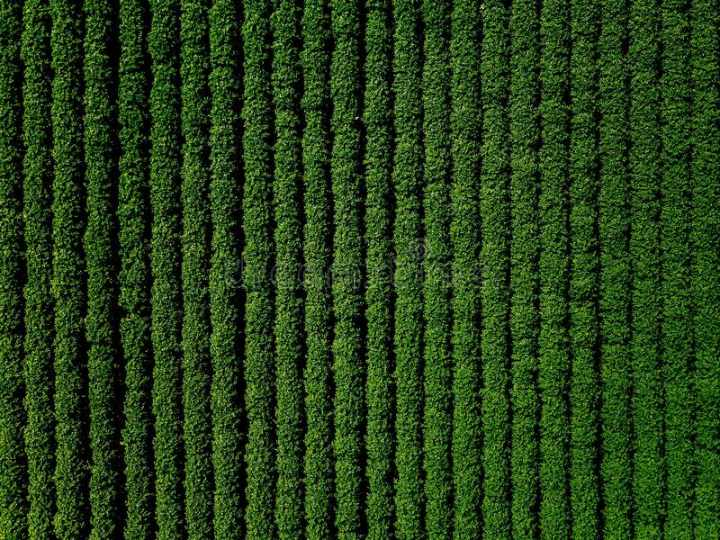 Green country field of potato with row lines, top view, aerial photo royalty free stock photos